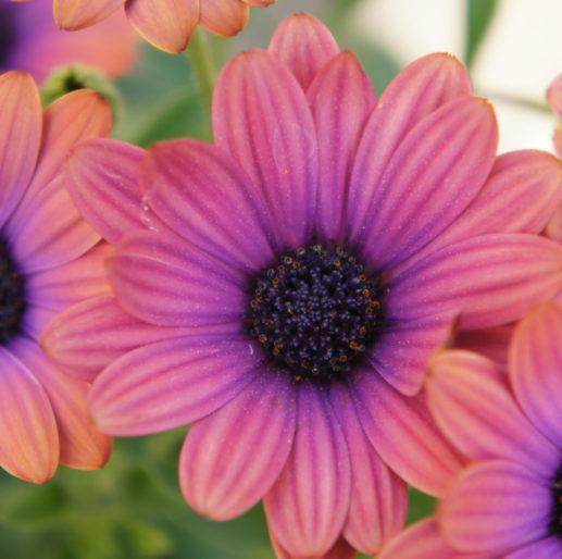 purple pink daisy blossom