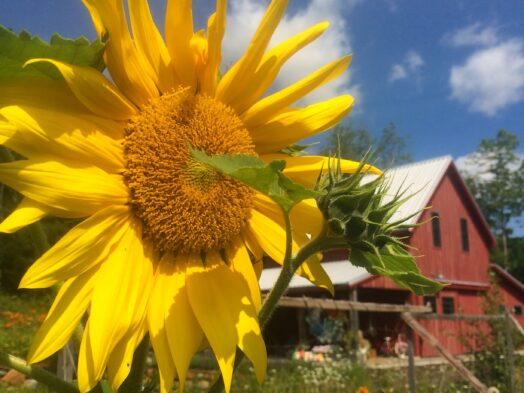 Big yellow sunflower blossom with red barn in background
